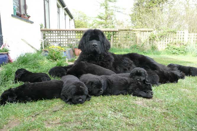 Photograph of Ch. Sheridel Nerrisa with her Newfoundland puppies