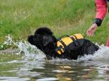 Photo of a black Newfoundland puppy jumping into the water
