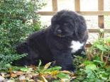 Photo of a black Newfoundland puppy sitting in bushes
