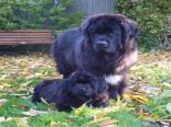 Photo of Newfoundland puppy with an adult newfie