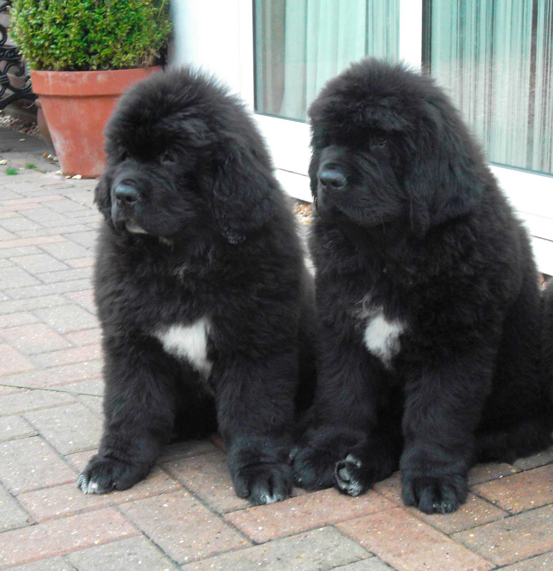 Newfoundland Puppies Homepage