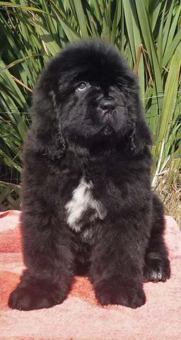A Newfoundland Puppy with a white chest marking