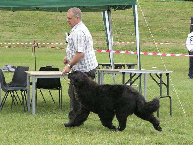 Lindgreave Newfoundland in the show ring