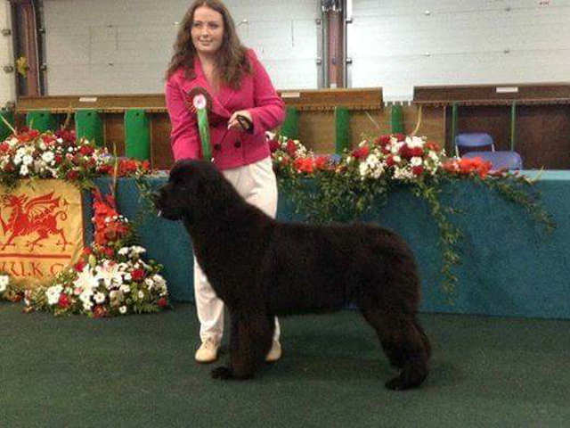Jane with a Lindgreave Newfoundland at a show