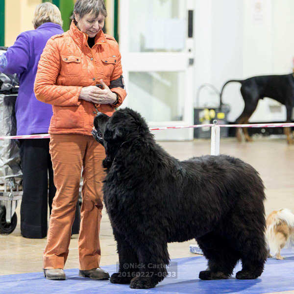 Photograph of Patricia Franklin in the show ring with a black Newfoundland