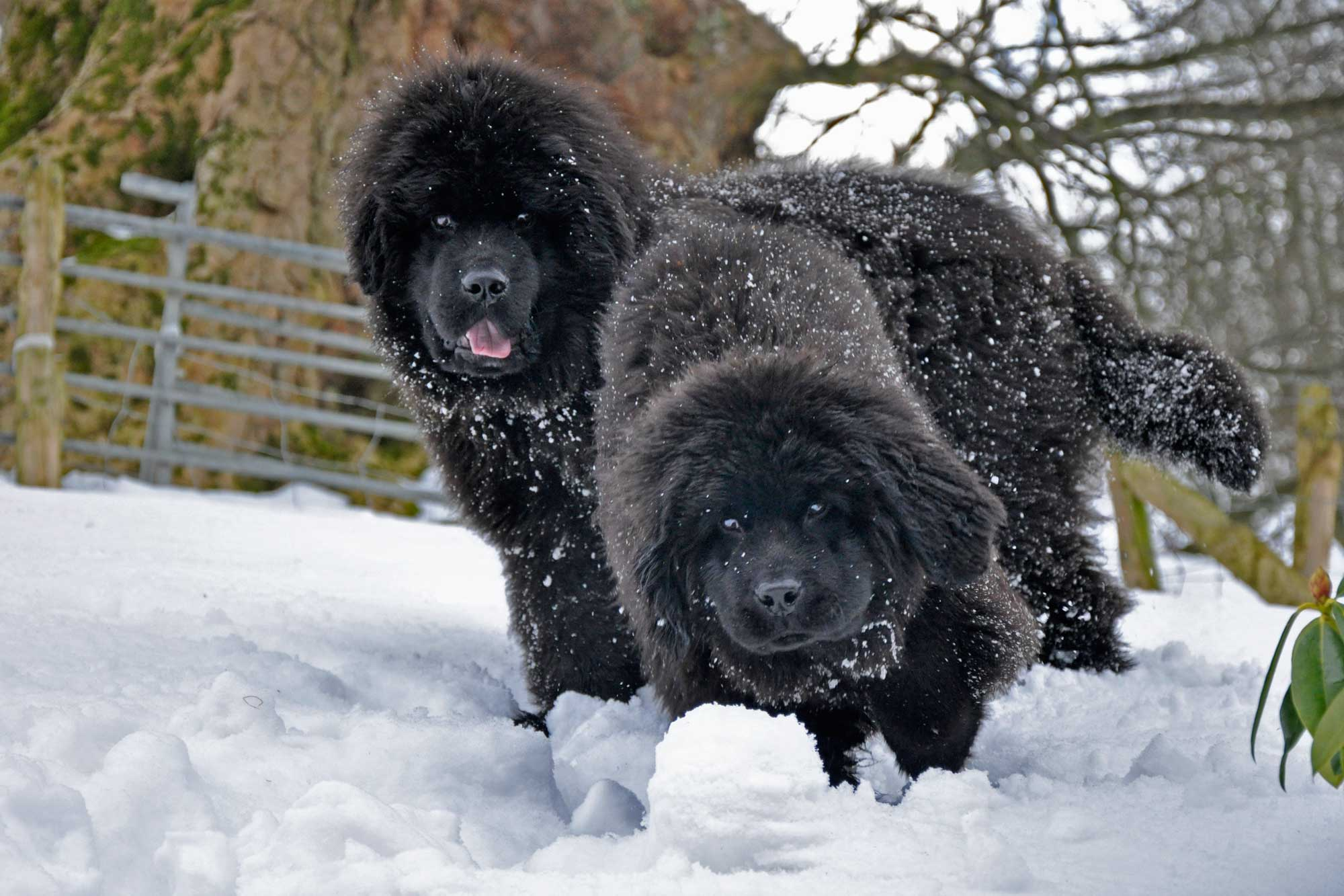 Two black Newfoundland puppies playing in the snow